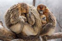 Character: TaoTao's family - Golden snub-nosed monkeys