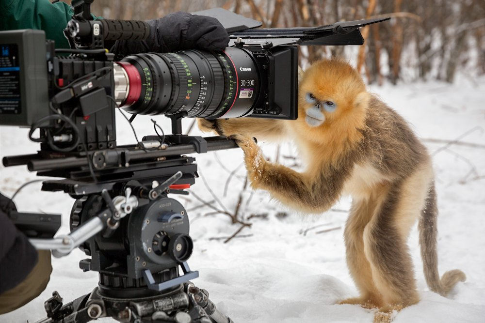 Description: Cinematographer Justin Maguire filming golden snub-nosed monkeys.